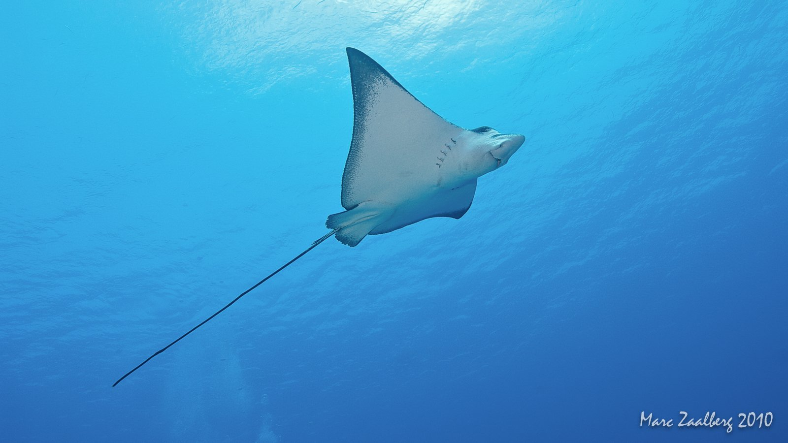 Diving with eagle rays
