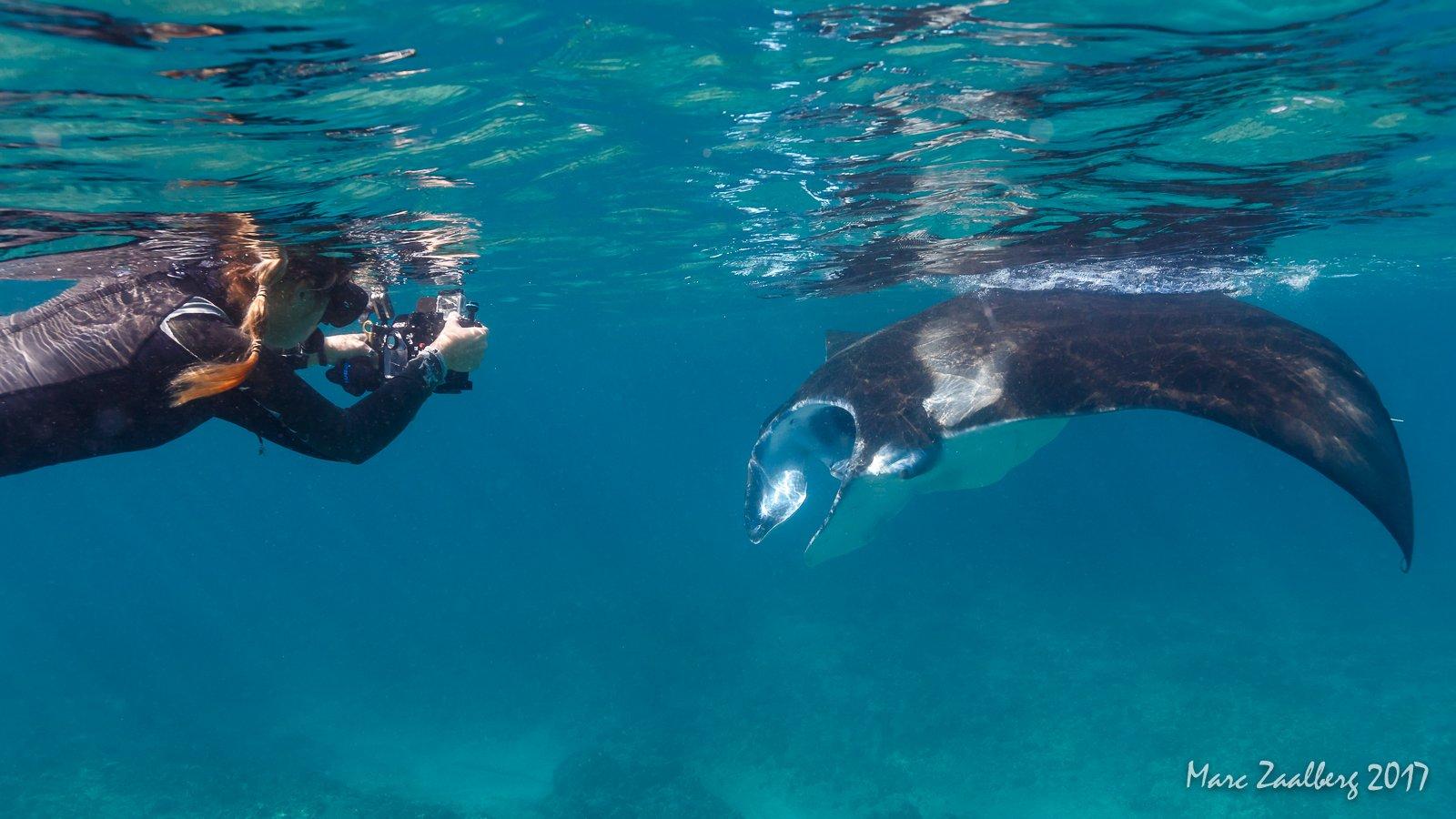 Manta rays feeding near the surface