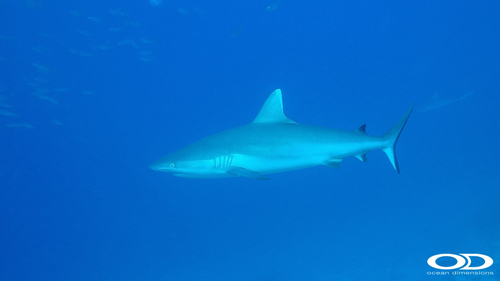 Grey Reef Shark at Dhonfan Thila