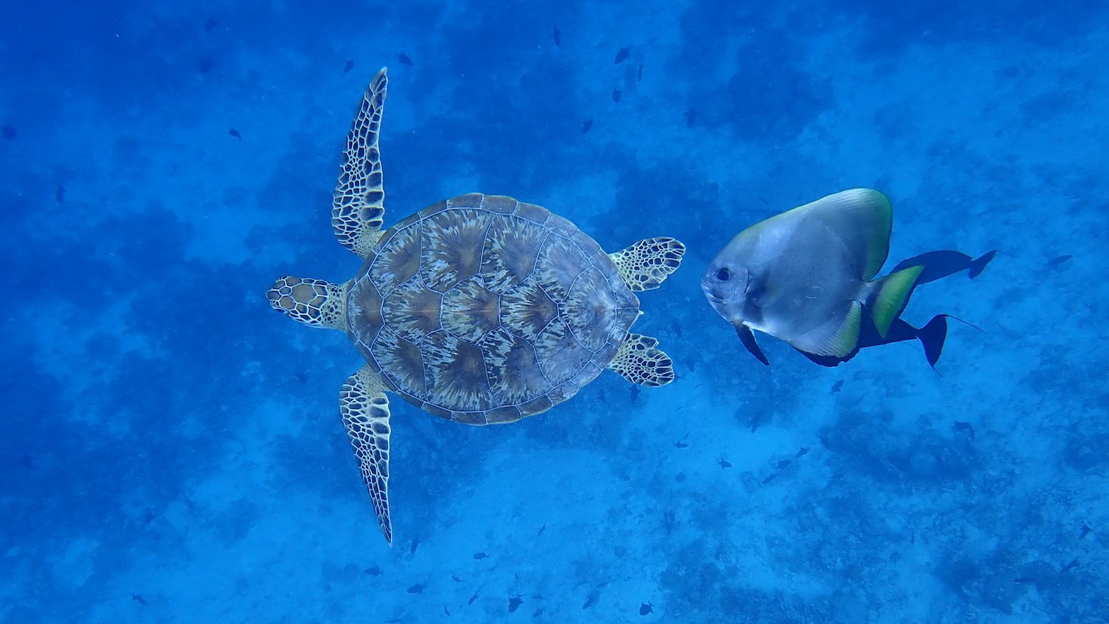 Turtle and batfish - underwater symbiotic relationships