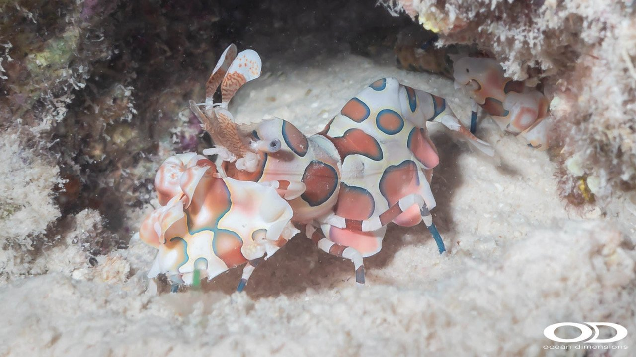 Harelquin Shrimp in the Kihaa Lagoon