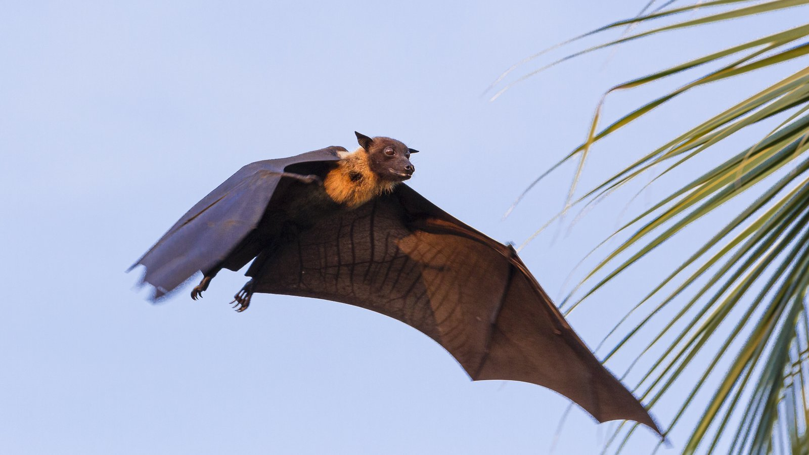Fruit Bat or Flying Fox